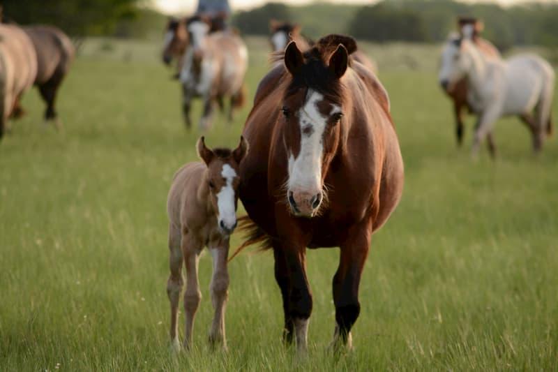 opfok-fok-paarden